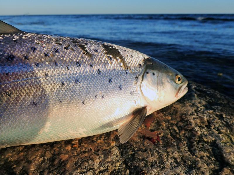 De bästa fisketipsen för havsöring i Skåne