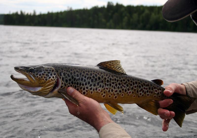 Var med och tävla i svenska flugfiskecupen!