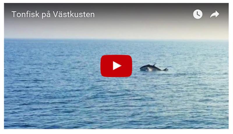 Filmklipp med tonfisk på Västkusten