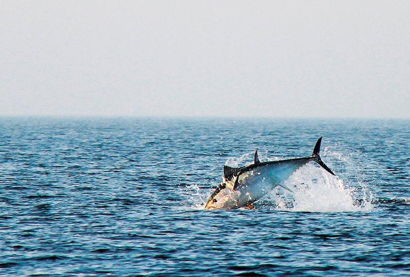 Sportfiskarna och SLU ska märka spöfångad tonfisk