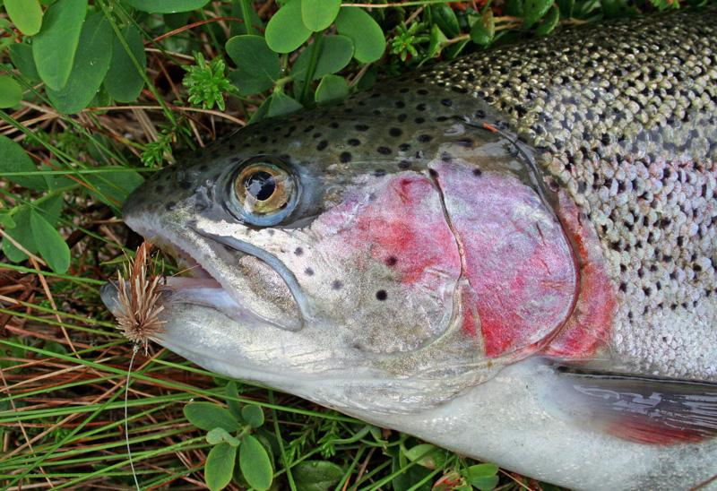Premiär för regnbågsfisket i Norra Långevattnet 14/4 2019