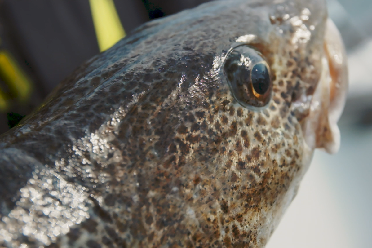 EU-beslut om fiskekvot fortsatt hot mot östersjötorsken
