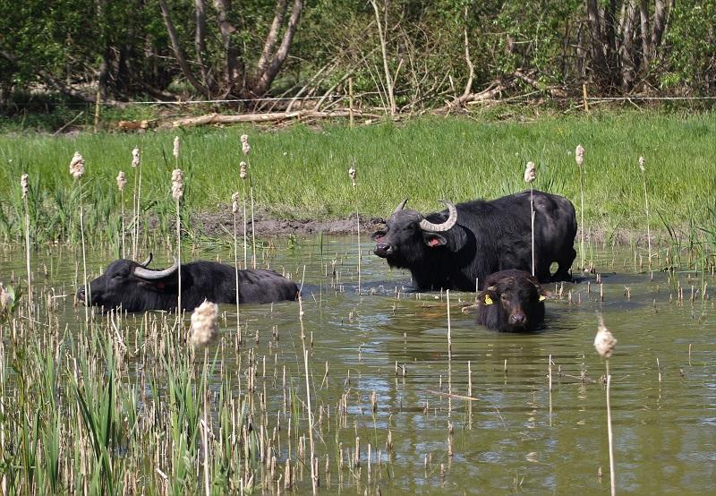 Vattenbufflar sköter gäddfabrik på Gotland