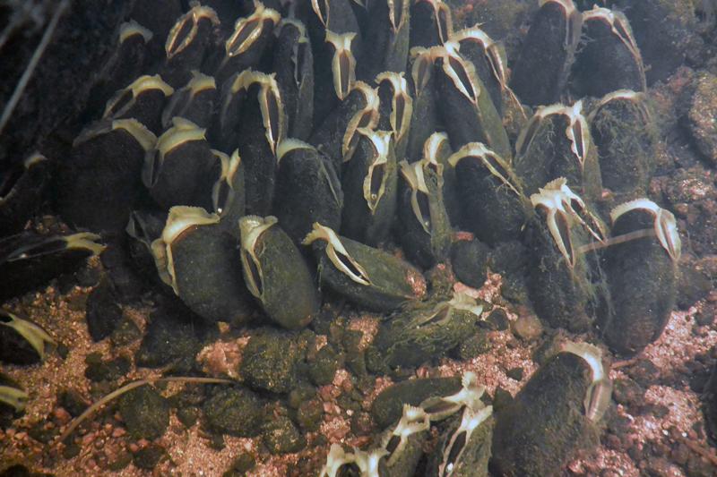 En utmaning att utvärdera kalkeffekterna på flodpärlmussla