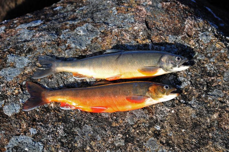 Kalkgrus ska rädda röding i norskt fiskevårdsprojekt