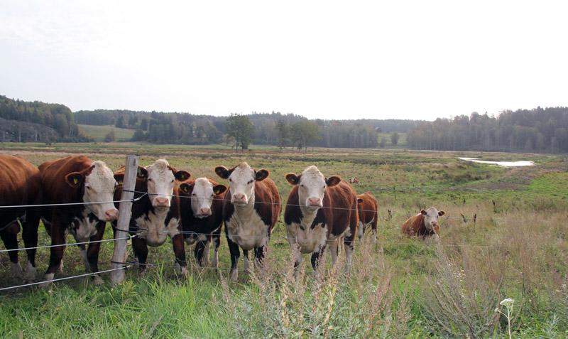 Glada kor på bete ger fler gäddyngel i våtmark