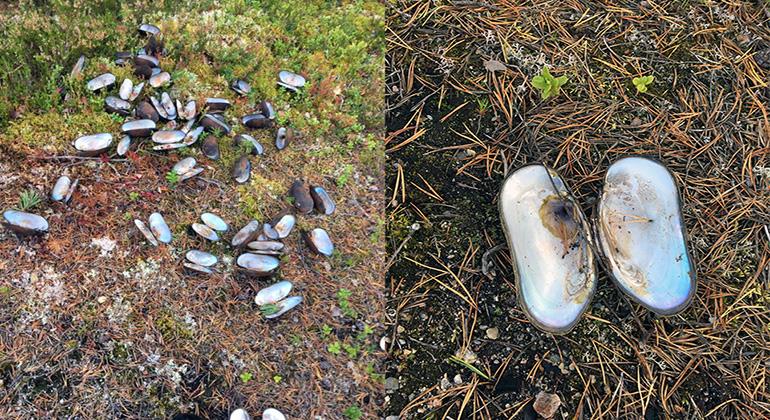 Flodpärlmusslor dödade i Västerbotten