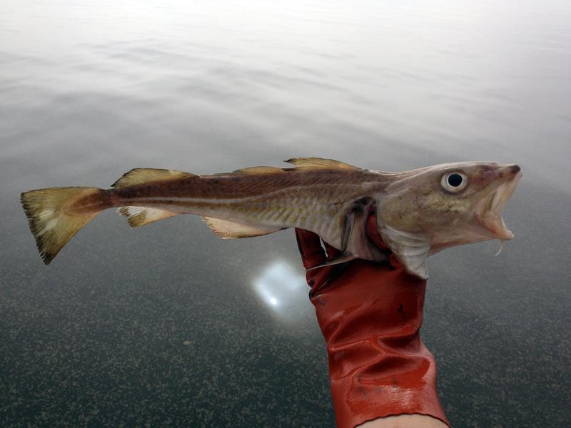 Torskbeståndet kollapsar - nu krävs fiskestopp