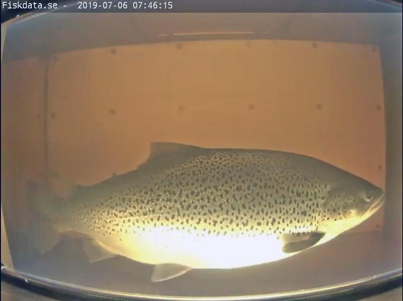 Striktare fiskeregler införs längs södra Norrlandskusten