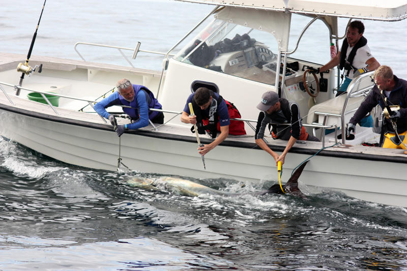 Märkning av blåfenad tonfisk på Västkusten 2019