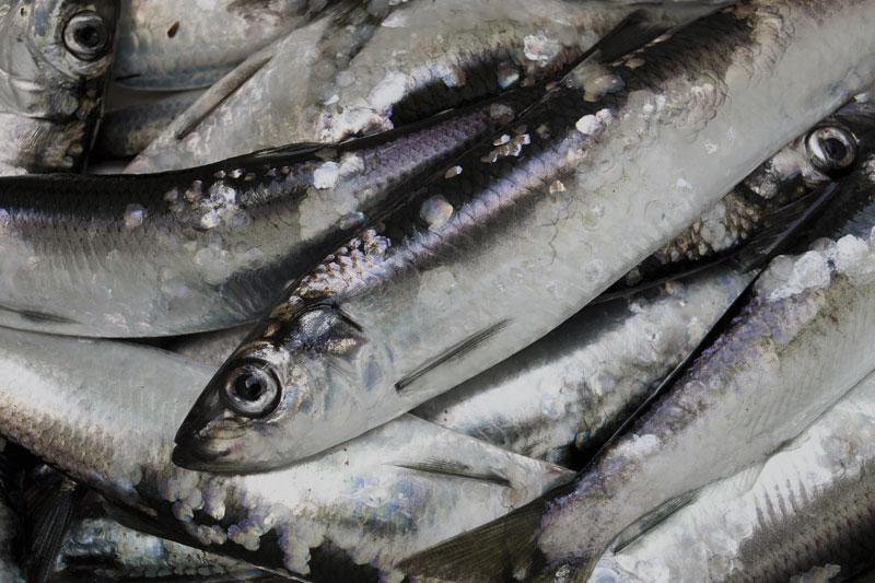 Rovfisket av strömming har fått förödande effekt