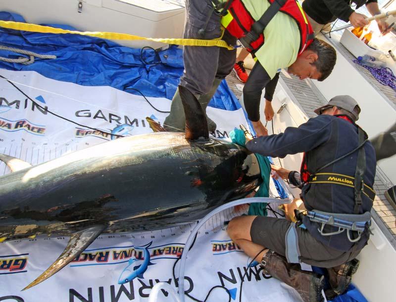 Slutrapport från årets tonfiskmärkningsprojekt
