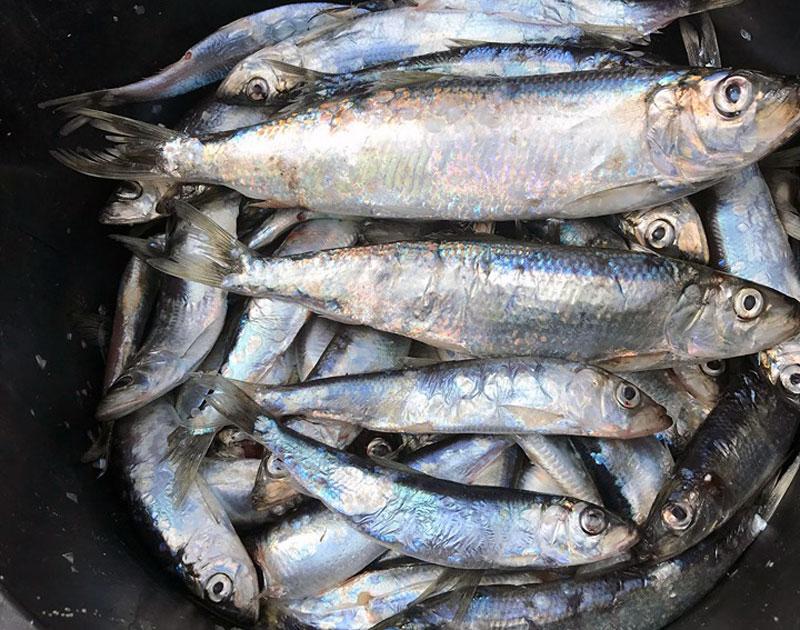 Kraftig minskning av strömmingsfisket i Östersjön 2021