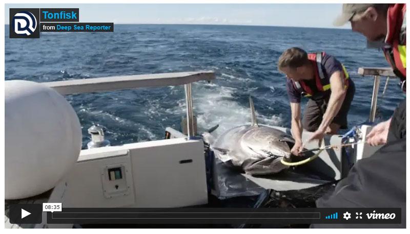 Se fantastisk film om tonfiskmärkning