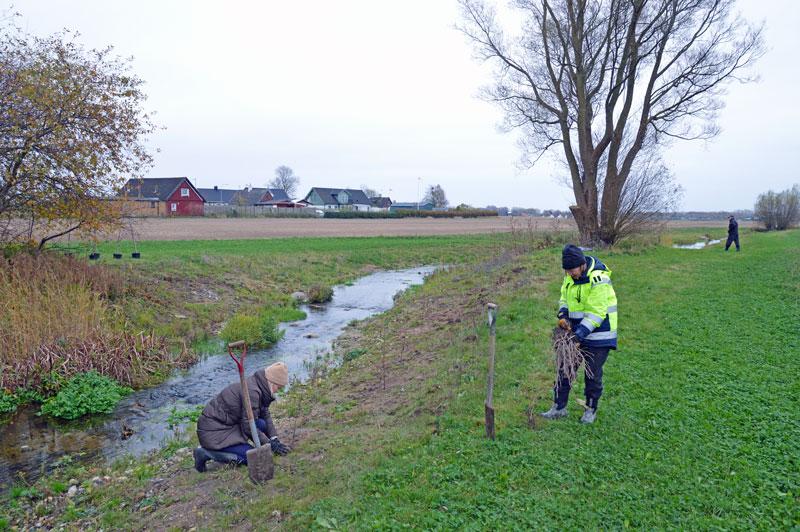 Tusentals träd och buskar planteras längs Ståstorpsån i Skåne