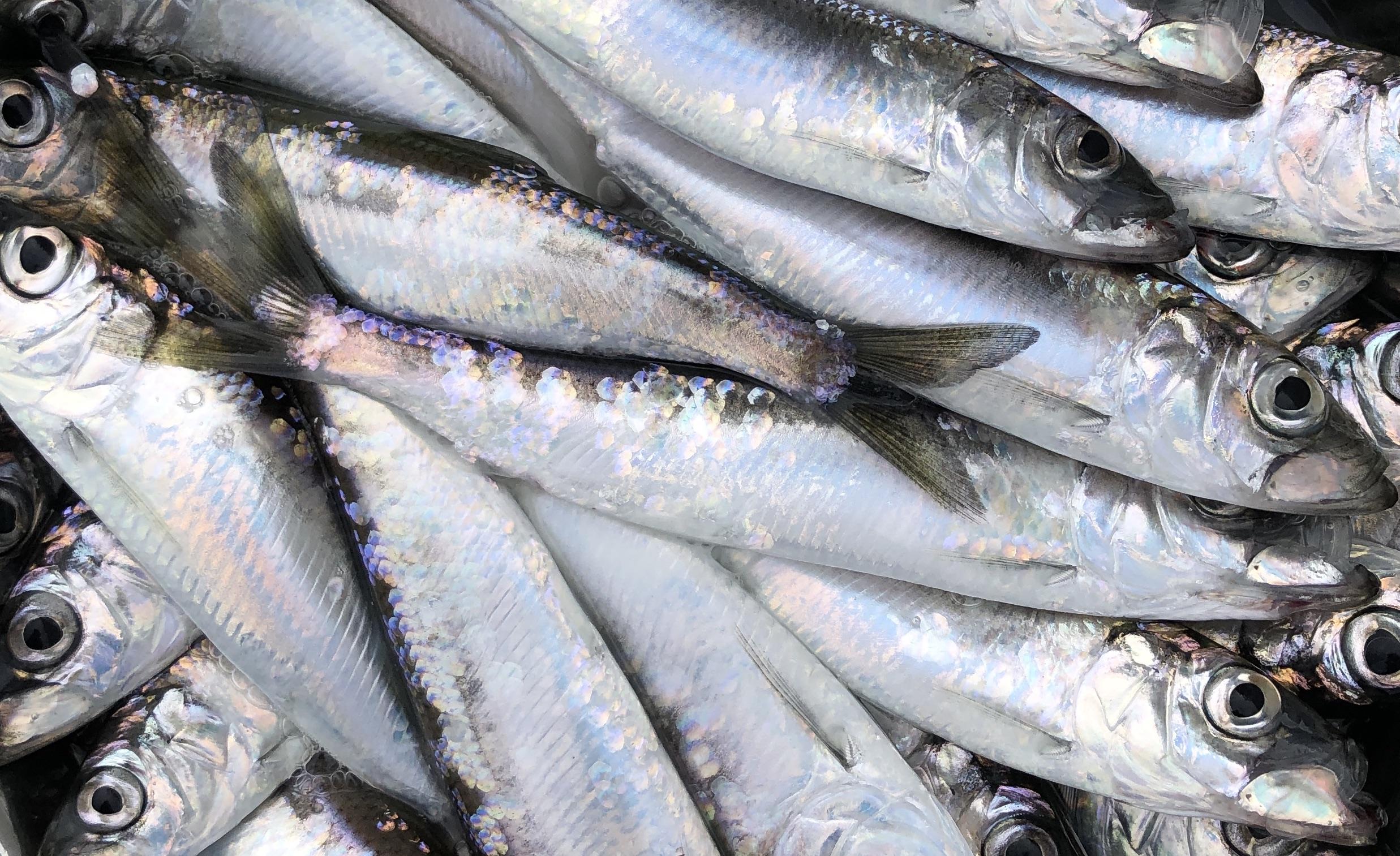 Sportfiskarna kritiska till MSC-certifieringen av sill och strömming i Östersjön