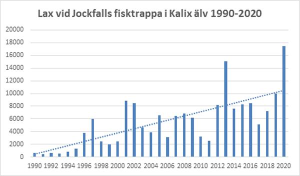 Rekordmånga laxar har passerat Jockfall i år