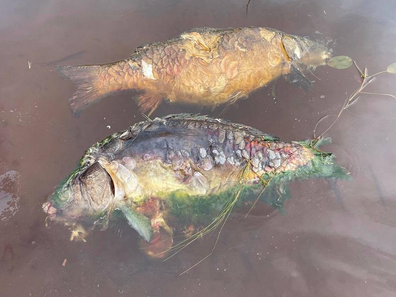 Misstänkt Koiherpesvirus i närbeläget karpvatten - Holmadammen stängs för fiske