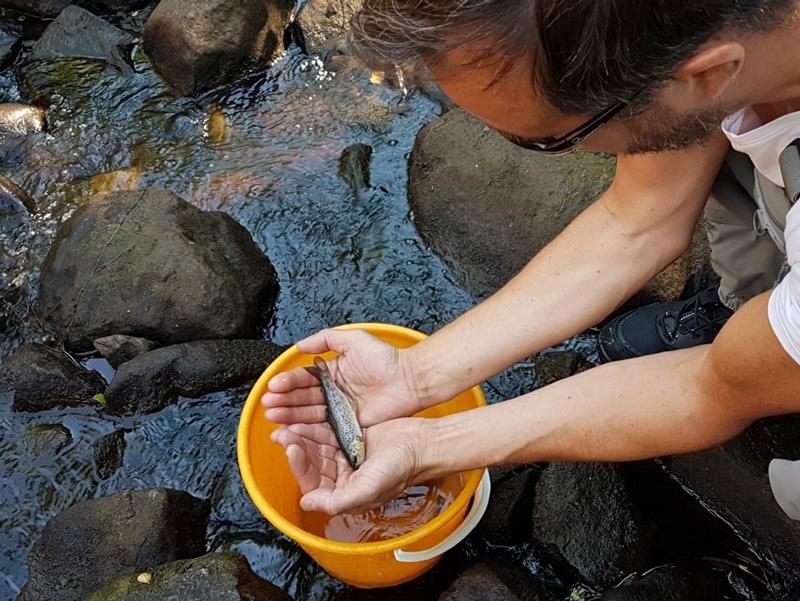 Återintroducerade öringar trivs i Trödjeån