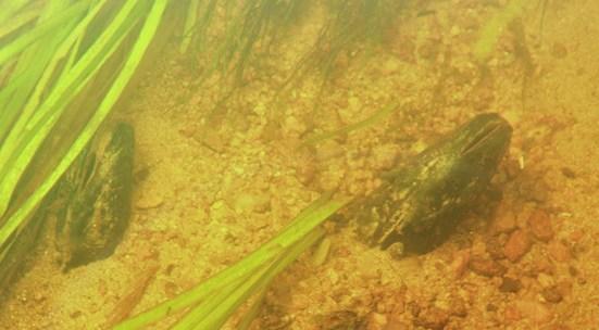Sportfiskarna återintroducerar flodpärlmussla