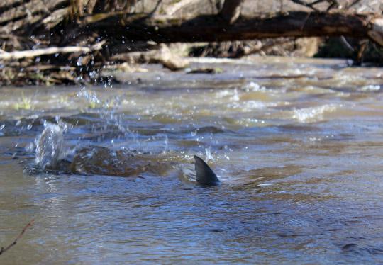 Ge fan i våra vatten river damm i Sävaån