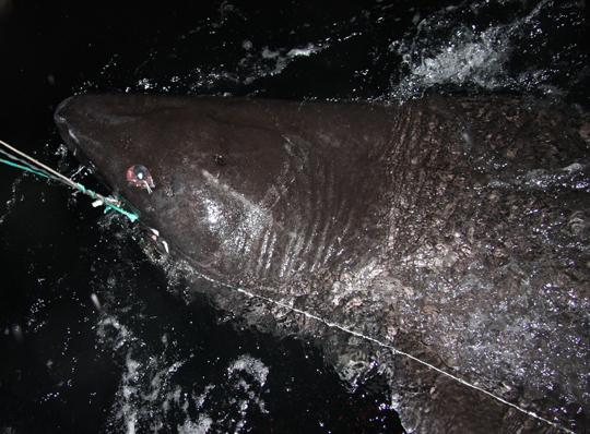 Jättehaj spöfångad i Norge av svenska sportfiskare