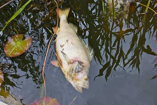 Fiskdöden i Mönsterås fortsätter förbrylla