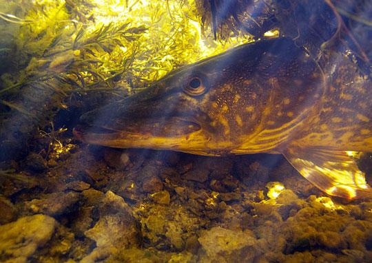 Svenska mästare i gäddfiske