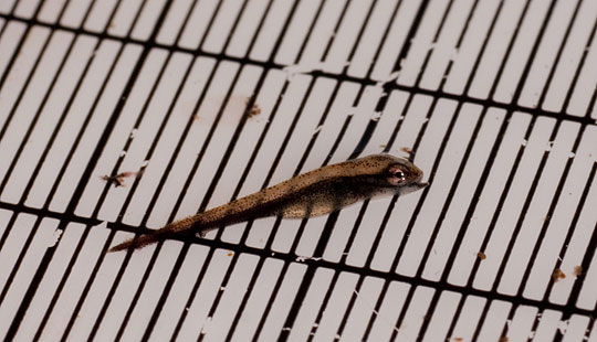 Första gäddynglen i Österby myr