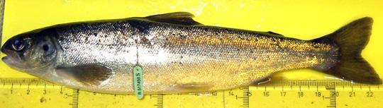 Sportfiskarna om utfasning av odlad lax
