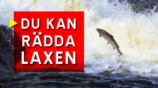 Finlands Fritidsfiskare räddar laxen