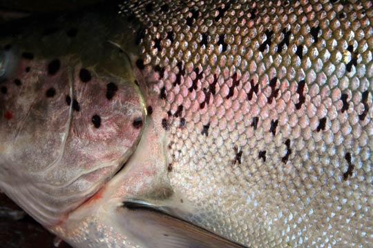 Fångstrapportering viktig för Vänerns lax och öring